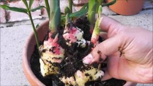 cómo cultivar una planta de jengibre en casa