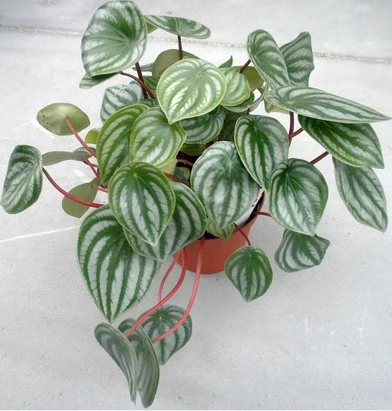El color de sus hojas proporciona atractivo a los -jardines-verticales