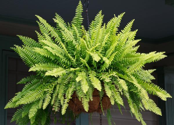 El típico helecho y su densidad debe estar presente en el -jardín-vertical-