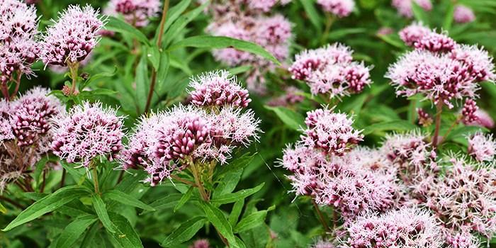 Una de las -plantas-medicinales-más-comunes- para tratar la ansiedad