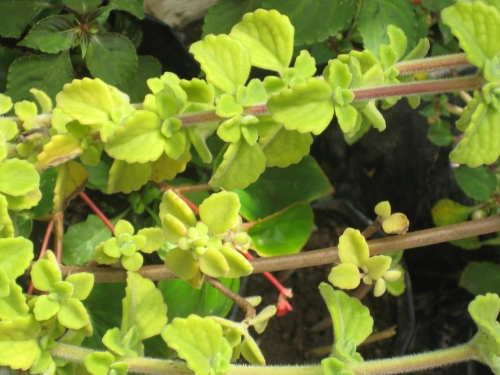 planta Vaporub