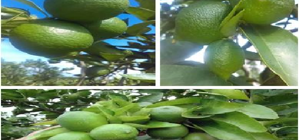 limones-calientes-pueden-matar-las-celulas-cancerosas