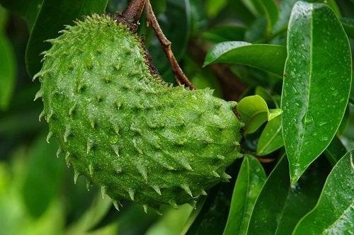 Beneficios de la guanábana para el cáncer