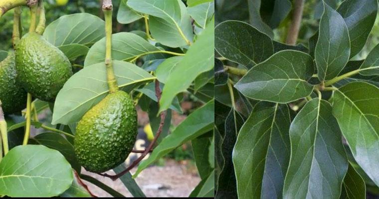 Beneficios de las hojas de aguacate para la salud